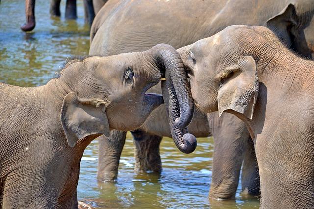 Sri Lanka olifant pxb
