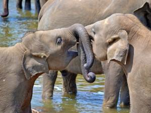 Vakantie Sri Lanka olifant kopie